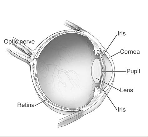 eye diagram labeled draw a neat and label diagram of human eye and explain