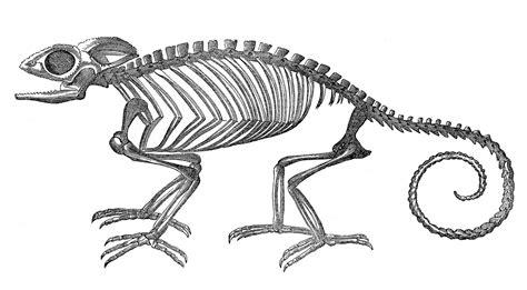 skeleton clipart vintage clip strange chameleon skeleton