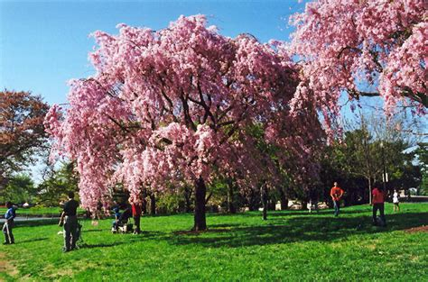 pink weeping higan cherry prunus subhirtella pendula