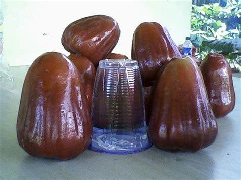 Bibit Jambu Air Bangkok bibit buah bunton malang macam macam jambu air