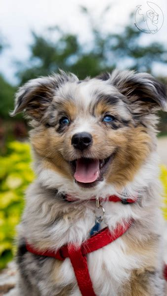 how much are australian shepherd puppies miniature australian shepherd puppies for sale miniature american shepherd
