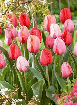 tulip tulipa darwin hybrid plant to impress mixture from netherland bulb