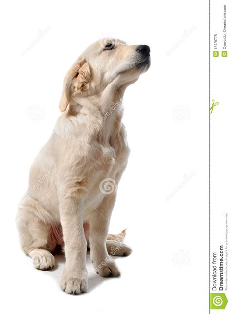 your purebred puppy golden retriever puppy golden retriever royalty free stock photo image 16739775