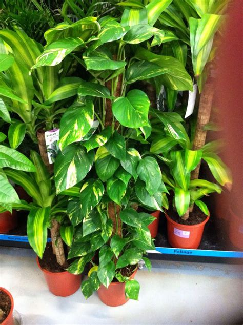 Houseplants For Low Light Areas by Devils Ivy Home Pinterest