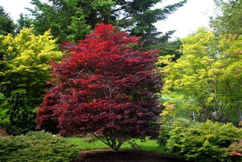 red baron  upright deciduous acer palmatum   narrow