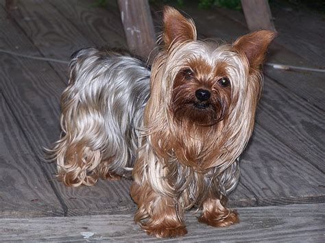 yorkie talk forum do you like dags let s talk about dogs i m naming mine mccoy arcade