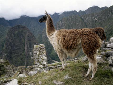 imagenes animal llama llama national geographic