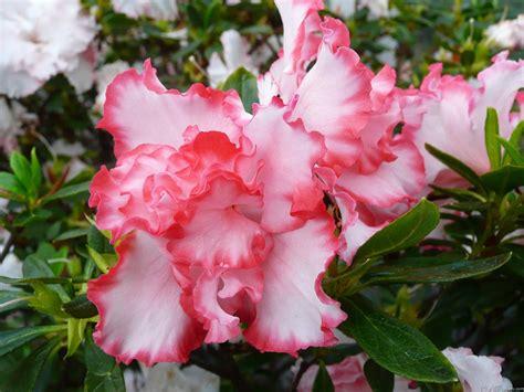 Azalea White mlewallpapers and white azaleas