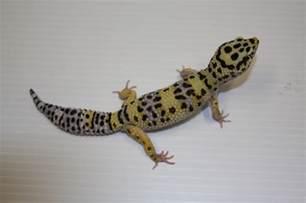 leopard gecko eublepharis macularius genetics breeding
