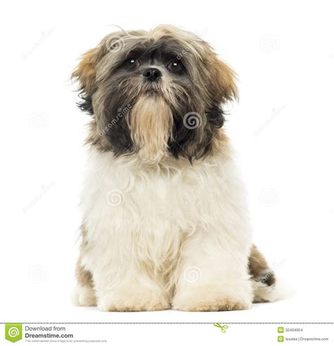how to my shih tzu puppy to sit shih tzu puppy sitting facing isolated stock images image 32494054