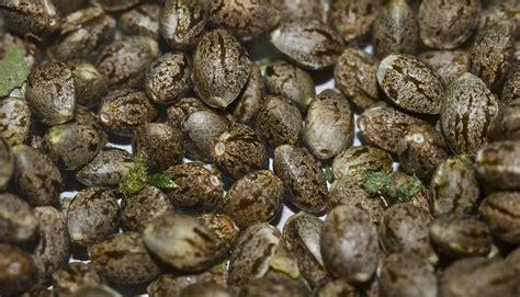 cannabis seed bank marijuana seed banks and breeders