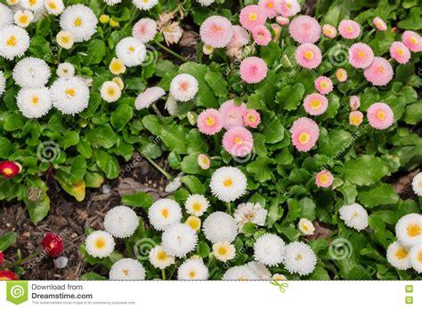 pratolina fiore bello fiore della margherita di pratolina fiorisce nel