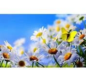 Spring Flowers White Daisies Butterfly Blue Sky Wallpaper