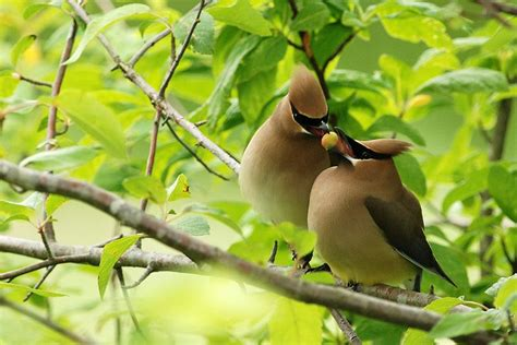cedar waxwing for the birds thanksgiving coffee company