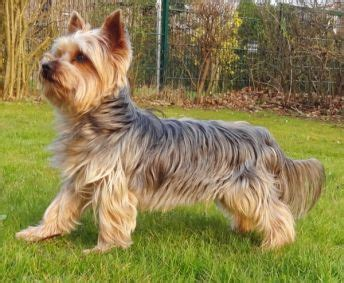 how big do teacup yorkies get grown the terrier yorkie size doesn t matter canine habit