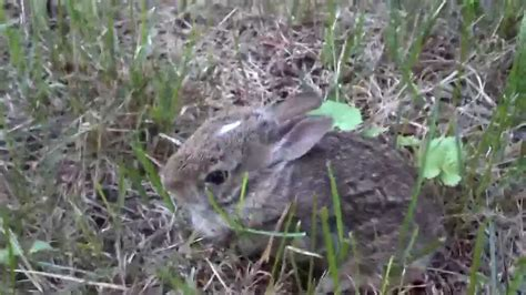 baby bunnies in my backyard wild mama rabbit with baby bunny in my backyard youtube