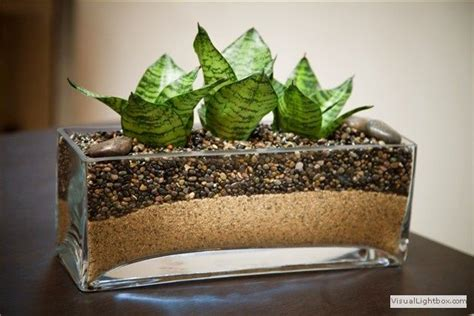 plant sansevieria light  sunlight needed care
