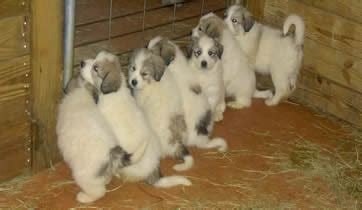 great pyrenees puppies for sale in ga great pyrenees puppies great pyrenees breeder in atlanta ga
