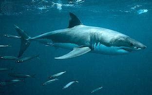 submarino el tiburn asesino tiburon blanco