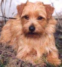 Do Norfolk Terriers Shed by The World S Catalog Of Ideas