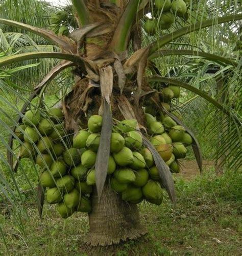 Bibit Kelapa Hibrida harga bibit kelapa hibrida di tanjungbalai www