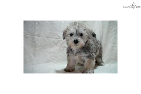 puppy for sale michigan schnoodle puppy for sale near arbor michigan 40cbace2 f5a1