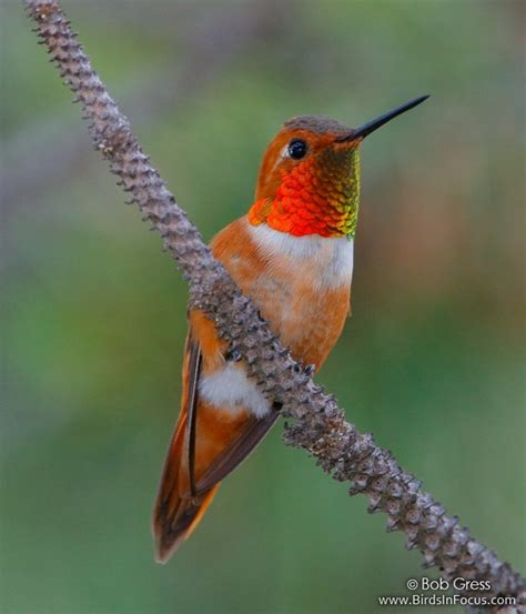 birds in focus rufous hummingbird