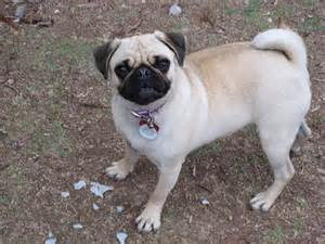 Pug information pictures reviews and q amp a greatdogsite com