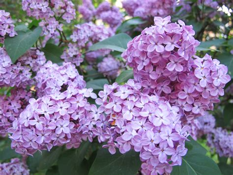 lilac syrenersaft lilac cordial semiswede