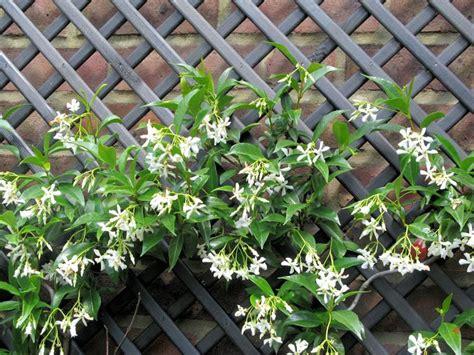 finto gelsomino in vaso piante profumate in balcone piante appartamento quali
