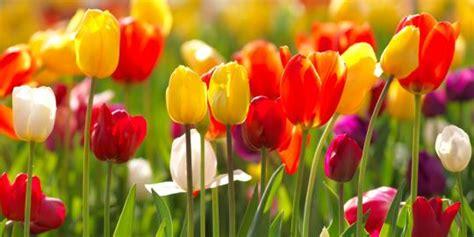 wallpaper gambar bunga tulip info lengkap mengenai bunga tulip selingkaran com