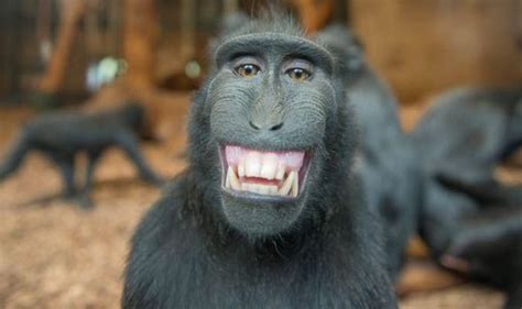 black monkey black macaque smiles for bob hadfield at chester zoo