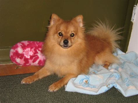 chihuahua and pomeranian puppies pomchi pomeranian chihuahua mix info temperament puppies pictures