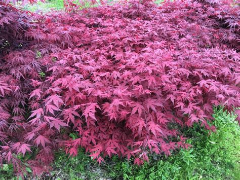 purple ghost japanese maple acer palmatum purple ghost
