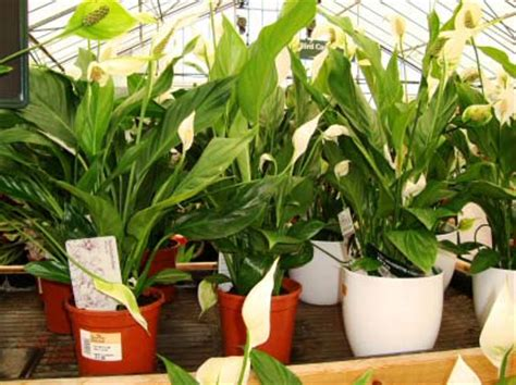 buy house plants where can you buy houseplants our house plants