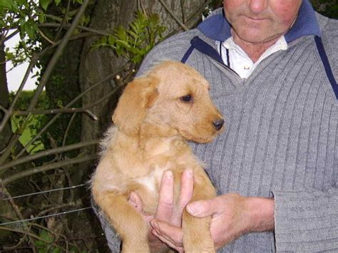 labrador doodle puppies for sale labrador doodle puppies images frompo 1