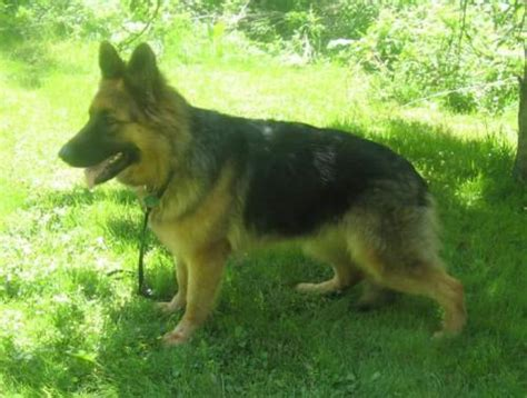 haired german shepherd puppies ohio struthers for sale puppies for sale
