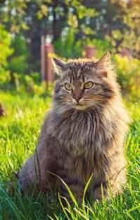 Siberian Cats Shedding by 100 Siberian Cat Hair Shedding Best 25 Siberian