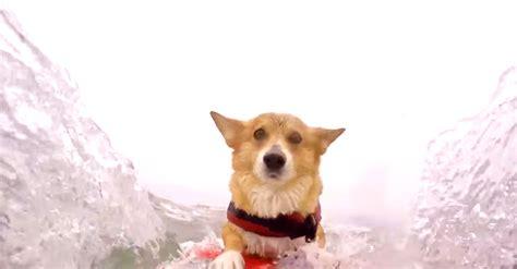 nj puppy rescue corgi rescue in new jersey breeds picture