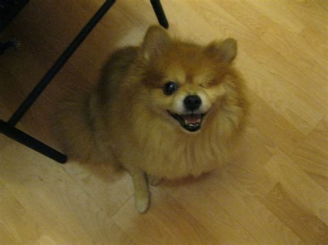 how to your pomeranian to do tricks how to teach your pomeranian to stop jumping on iheartdogs