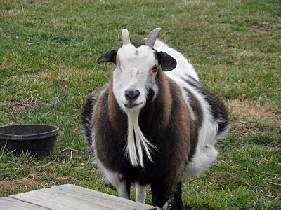 The Nanny Goat S Kid goat thing of the day baby bert gets his groove on
