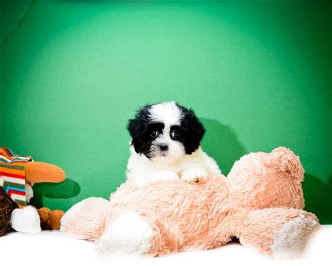 puppies toledo ohio mario is one of our havanese puppies for adoption near
