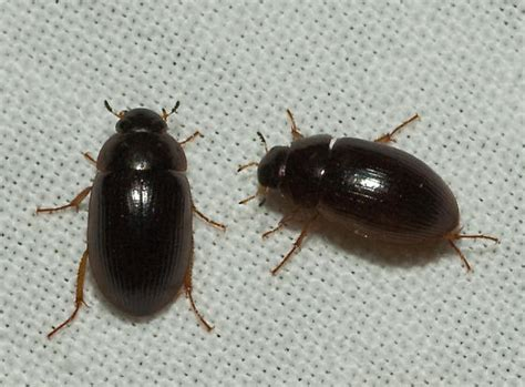 small beetles in bed 404 not found