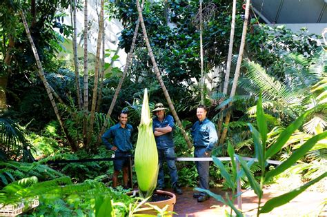 botanical gardens corpse flower the blooming of the corpse flower adelaide