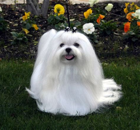 havanese and maltese southern silks maltese puppies and havanese puppies