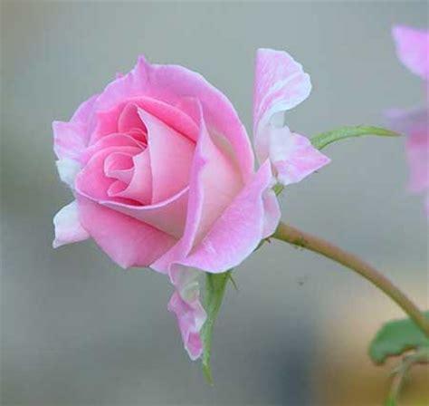 imagenes de lindas rosas flor linda fotos dicas imagens flores lindas maravilhosas
