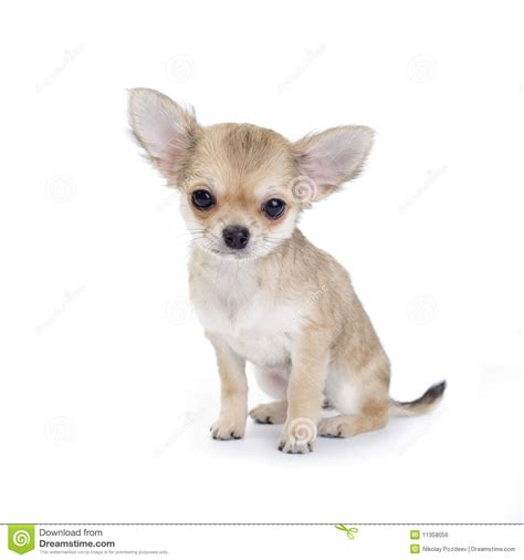 puppy on pale beige chihuahua puppy on white royalty free stock image image 11358056