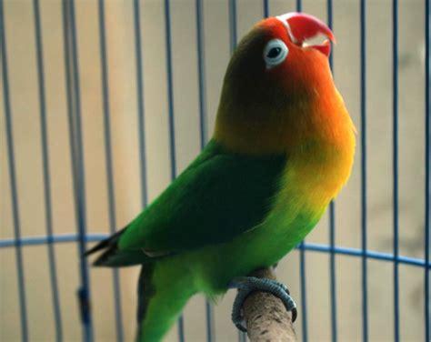 Pakan Racikan Branjangan Biar Gacor rahasia racikan pakan lovebird agar ngekek panjang