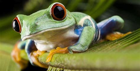 imagenes animales anfibios los cordados iii anfibios gt caracter 237 sticas y
