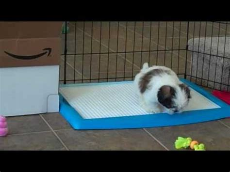 how to potty a shih tzu puppy wizdog potty shih tzu puppy